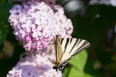 Πεταλούδα Iphiclides Podalirius Podalirio στα λουλούδια Syringa Στοκ εικόνα με δικαίωμα ελεύθερης χρήσης