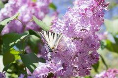 Πεταλούδα Iphiclides Podalirius Podalirio στα λουλούδια Syringa Στοκ Εικόνα
