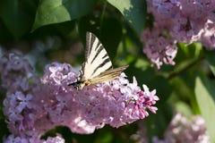 Πεταλούδα Iphiclides Podalirius Podalirio στα λουλούδια Syringa Στοκ Φωτογραφίες