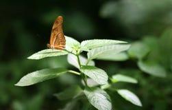 Πεταλούδα Julia Στοκ φωτογραφία με δικαίωμα ελεύθερης χρήσης