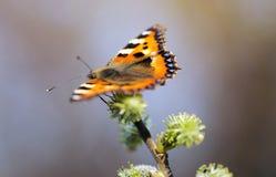 Πεταλούδα (lat Λεπιδόπτερα Linnaeus) Στοκ φωτογραφία με δικαίωμα ελεύθερης χρήσης