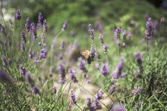 Πεταλούδα lavender στοκ φωτογραφίες