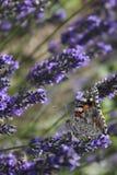 Πεταλούδα lavender Στοκ φωτογραφίες με δικαίωμα ελεύθερης χρήσης