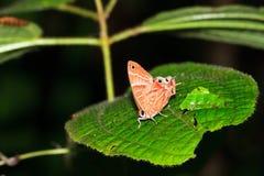 Πεταλούδα Masoala Στοκ φωτογραφίες με δικαίωμα ελεύθερης χρήσης