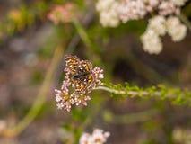 Πεταλούδα MetalMark Behr Laguna στο πάρκο αγριοτήτων ακτών, Λαγκούνα Μπιτς, Καλιφόρνια Στοκ Εικόνες