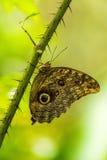 Πεταλούδα morpho Αχιλλέα στον ακανθώδη πράσινο μίσχο Στοκ Εικόνα