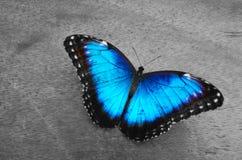 Πεταλούδα Morpho Στοκ Εικόνα