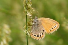Πεταλούδα Nymphalidae στοκ εικόνες