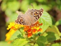 Πεταλούδα Pansy λεμονιών στοκ εικόνες