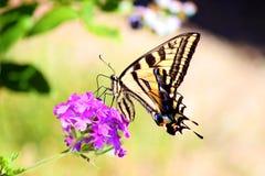 Πεταλούδα Papilio Swallowtail machaon που ταΐζει με το λουλούδι Στοκ φωτογραφία με δικαίωμα ελεύθερης χρήσης