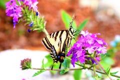 Πεταλούδα Papilio Swallowtail machaon που ταΐζει με το λουλούδι Στοκ εικόνα με δικαίωμα ελεύθερης χρήσης