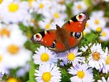 Πεταλούδα Peacock σε ένα λιβάδι Στοκ Φωτογραφία