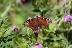 Πεταλούδα Peacock σε ένα φύλλο Στοκ Εικόνες