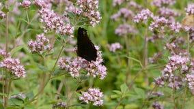 Πεταλούδα Peacock στα άγρια άνθη majoram απόθεμα βίντεο