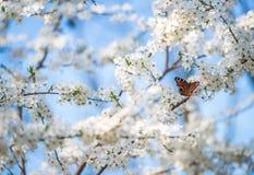 Πεταλούδα Peacock στα άνθη κερασιών Στοκ εικόνες με δικαίωμα ελεύθερης χρήσης