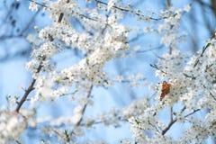 Πεταλούδα Peacock στα άνθη κερασιών Στοκ εικόνα με δικαίωμα ελεύθερης χρήσης