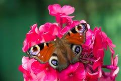 Πεταλούδα Peacock στο κόκκινο λουλούδι Phlox Στοκ Εικόνες
