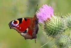 Πεταλούδα Peacock Στοκ εικόνες με δικαίωμα ελεύθερης χρήσης