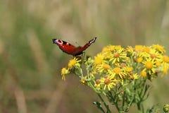 Πεταλούδα Peacock (aglais io) Στοκ φωτογραφίες με δικαίωμα ελεύθερης χρήσης