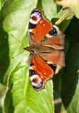 Πεταλούδα Peacock (Inachachis io) Στοκ Φωτογραφία