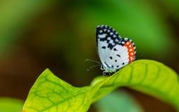 Πεταλούδα Pierott Στοκ Φωτογραφίες