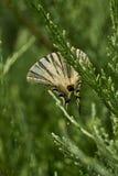 Πεταλούδα Podalirio Iphiclides Podalirius Στοκ Εικόνα