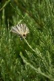 Πεταλούδα Podalirio Iphiclides Podalirius Στοκ φωτογραφία με δικαίωμα ελεύθερης χρήσης