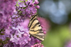 Πεταλούδα Podalirius στο ιώδες ζωηρόχρωμο υπόβαθρο άνοιξη Στοκ Φωτογραφία