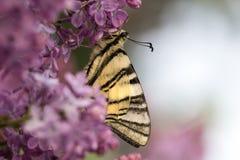 Πεταλούδα Podalirius στο ιώδες ζωηρόχρωμο υπόβαθρο άνοιξη Στοκ Φωτογραφίες