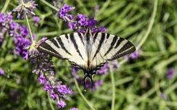 Πεταλούδα podalirius Iphiclides Στοκ Εικόνες