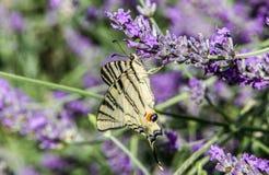 Πεταλούδα podalirius Iphiclides Στοκ φωτογραφίες με δικαίωμα ελεύθερης χρήσης