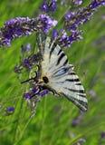 Πεταλούδα podalirius Iphiclides lavender Στοκ φωτογραφίες με δικαίωμα ελεύθερης χρήσης