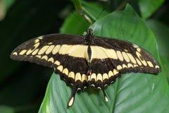 Πεταλούδα Swallowtail βασιλιάδων Στοκ Φωτογραφία