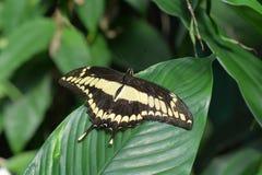 Πεταλούδα Swallowtail βασιλιάδων Στοκ Εικόνες