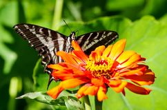Πεταλούδα Swallowtail στο πορτοκαλί λουλούδι Στοκ φωτογραφία με δικαίωμα ελεύθερης χρήσης