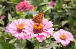 Πεταλούδα Swallowtail τιγρών Στοκ φωτογραφία με δικαίωμα ελεύθερης χρήσης