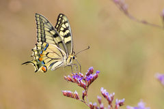 Πεταλούδα Swallowtail, Papilio machaon που πετά γύρω από το ρόδινο flowe Στοκ φωτογραφία με δικαίωμα ελεύθερης χρήσης