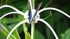 Πεταλούδα Swallowtail Ulysses σε ένα λουλούδι απόθεμα βίντεο