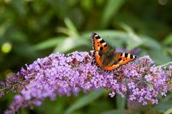 Πεταλούδα Tortoisehell Στοκ εικόνα με δικαίωμα ελεύθερης χρήσης