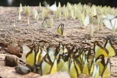 Πεταλούδες: Εξάρτηση & κοινωνικός Στοκ Εικόνα