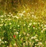 Πεταλούδες και άσπρο clower Στοκ Εικόνες