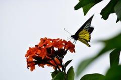 Πεταλούδες και λουλούδια Στοκ Εικόνες