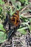 Πεταλούδες με τα μαύρα και καφετιά φτερά Στοκ Φωτογραφία