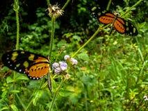 Πεταλούδες μοναρχών στην πράσινη κοιλάδα Στοκ εικόνα με δικαίωμα ελεύθερης χρήσης