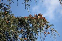 Πεταλούδες μοναρχών Στοκ Φωτογραφία