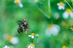 Πεταλούδες, πεταλούδα Στοκ εικόνα με δικαίωμα ελεύθερης χρήσης