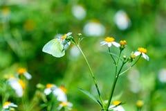 Πεταλούδες, πεταλούδα Στοκ Εικόνα