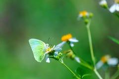 Πεταλούδες, πεταλούδα Στοκ Εικόνες
