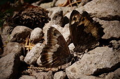 Πεταλούδες που χορεύουν στους βράχους Στοκ Φωτογραφίες
