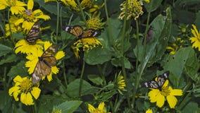 πεταλούδες πολλές Στοκ εικόνα με δικαίωμα ελεύθερης χρήσης